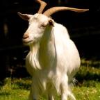 Goatskin parchment?!?!?!